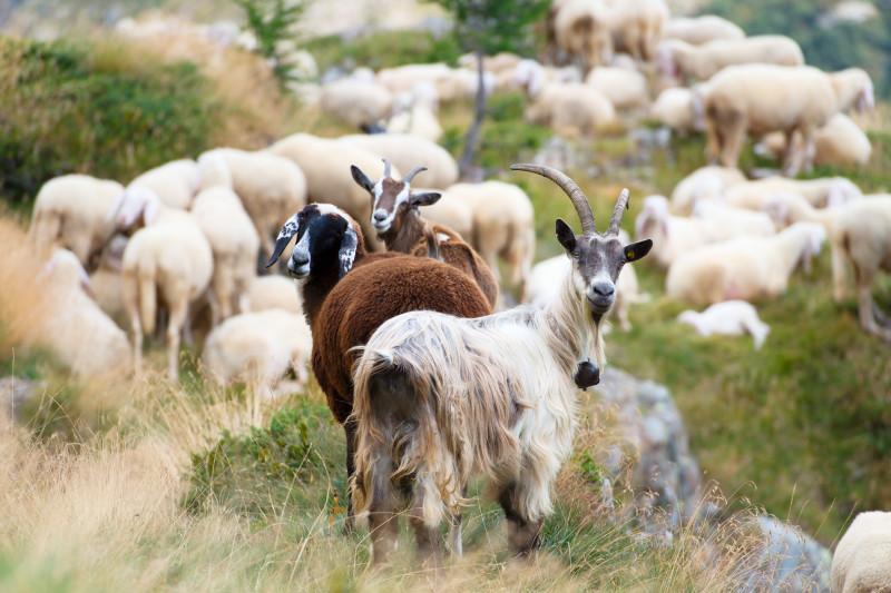 Стадо овец и коз