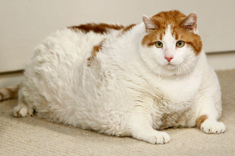 Самый толстый кот картинка